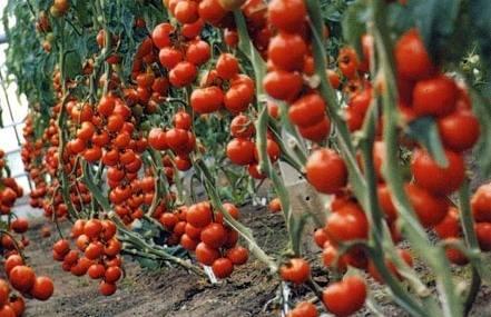 томат благовест отзывы фото урожайность