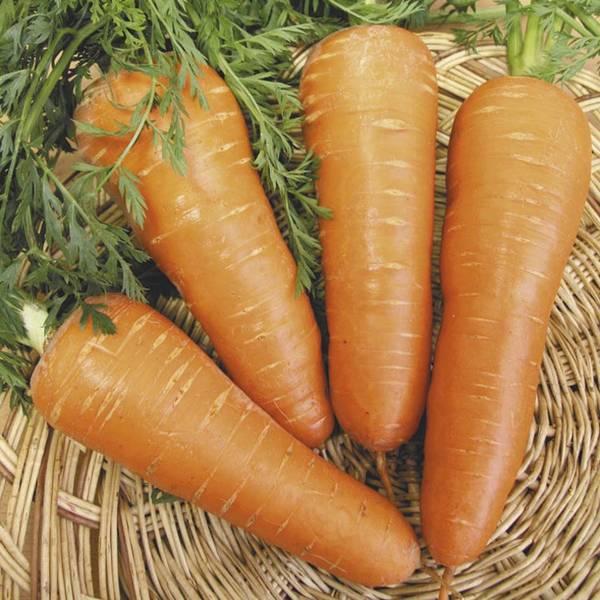 Пенза зарекомендовавшие сорта моркови