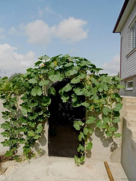 Плетистая тыква выращивание 88