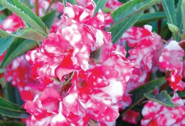 Огонек цветок уход в домашних условиях 37