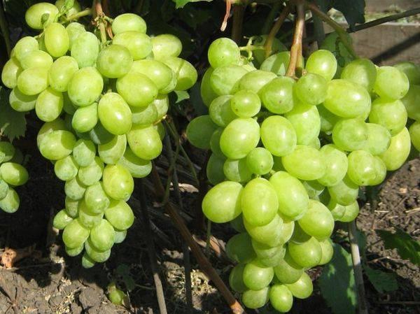 Выращивание светлого столового сорта винограда Тимур