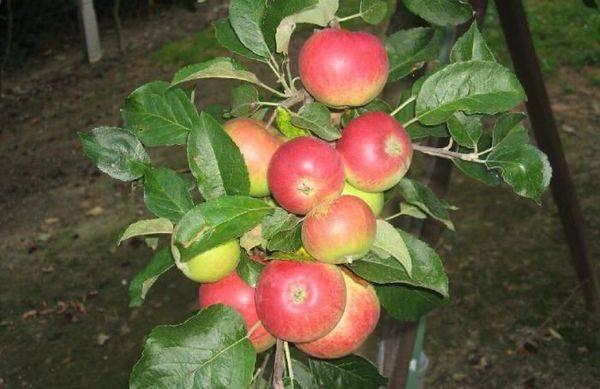 Описание сорта яблони канадского происхождения Мантет