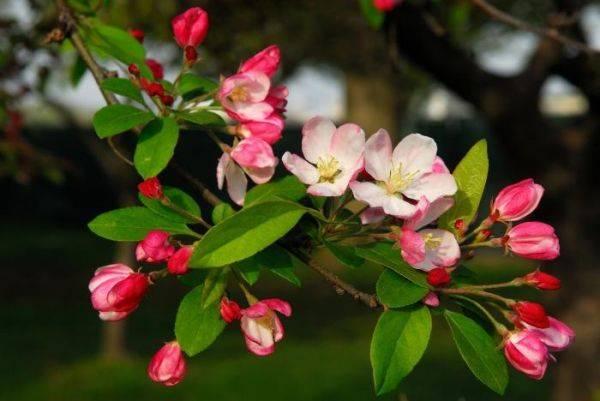 Особенности высокоурожайного сорта яблони Слава победителям